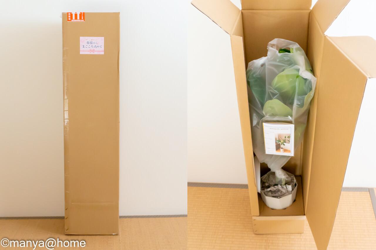 観葉植物「フィカス・ベンガレンシス 曲がり 7号サイズ(全体約80cm前後)」発送状態