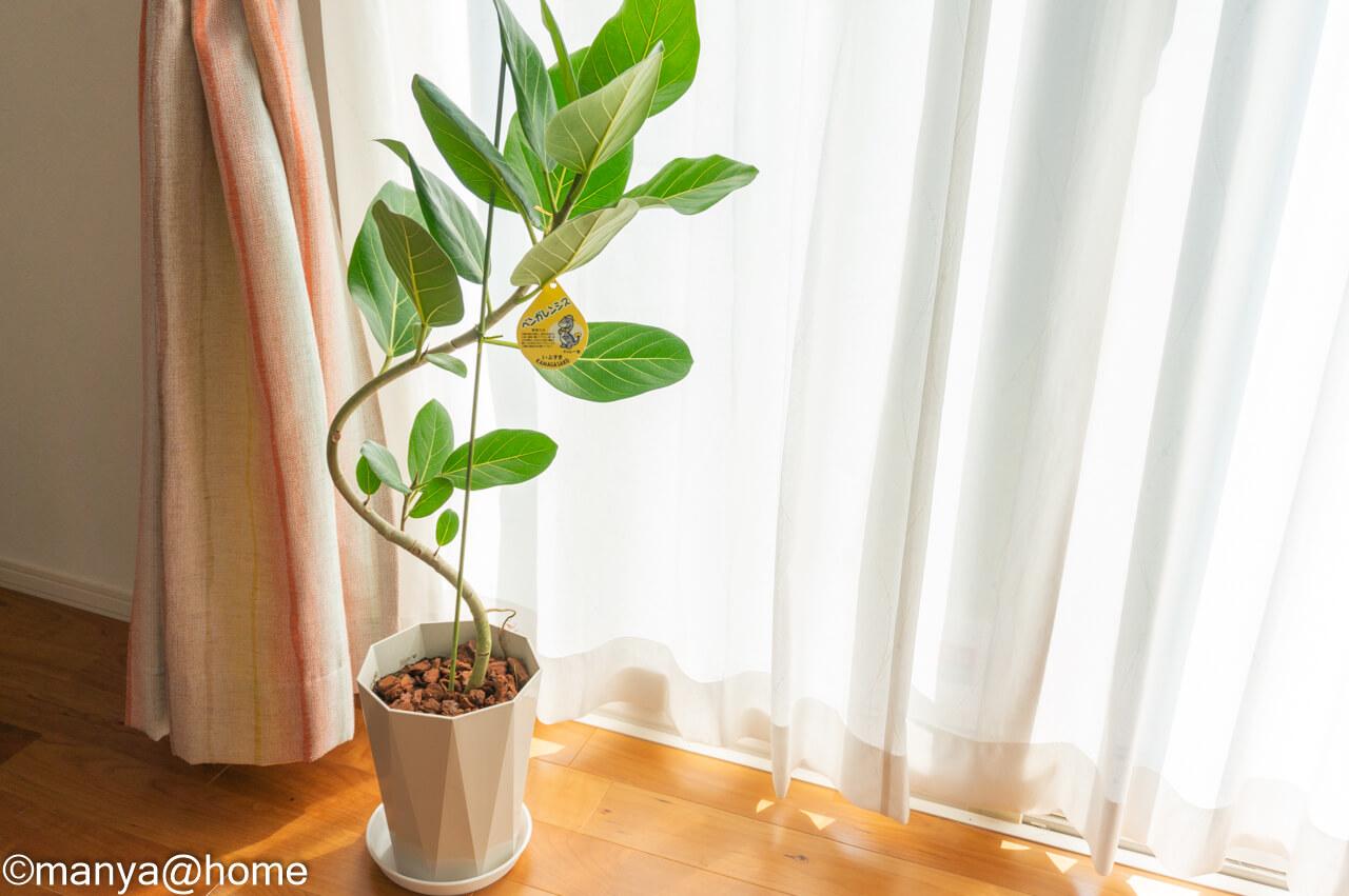 楽天ふるさと納税で観葉植物!「フィカス・ベンガレンシス 曲がり 7号サイズ」開封後