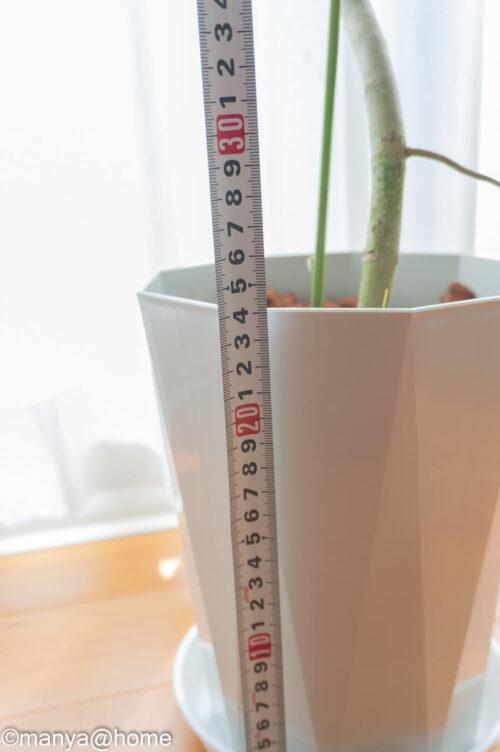 楽天ふるさと納税で観葉植物!「フィカス・ベンガレンシス 曲がり 7号サイズ」ジュエル鉢高さ